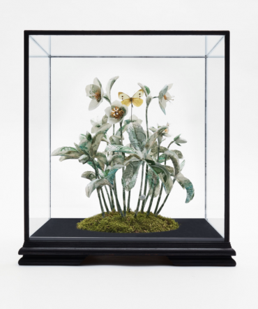 Specimen Helleborus Niger
