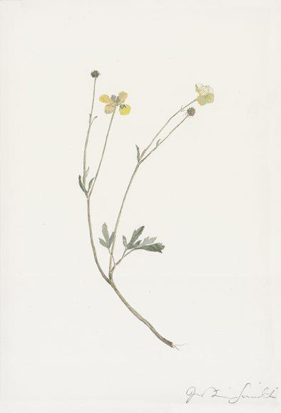 Specimen Ranunculus Acris