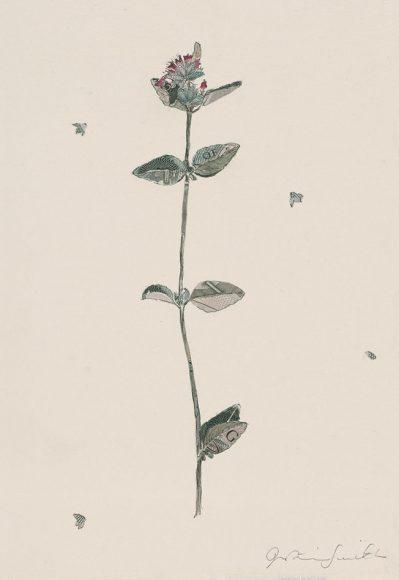 Specimen Agastache Foeniculum