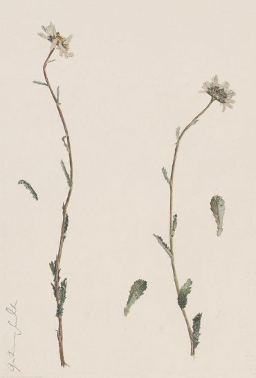 Specimen Leucanthemum Vulgare