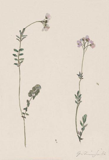 Specimen Cardamine Pratensis