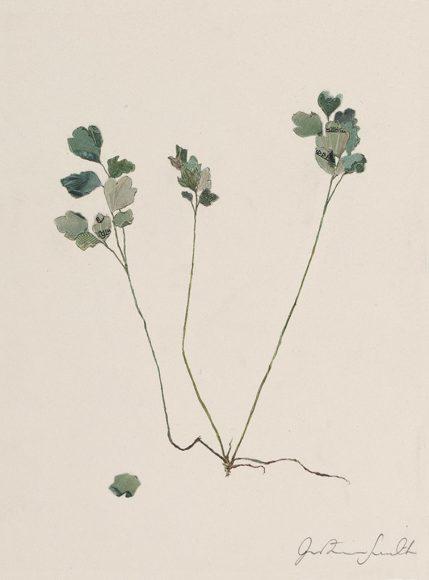Specimen Corydalis Lutea